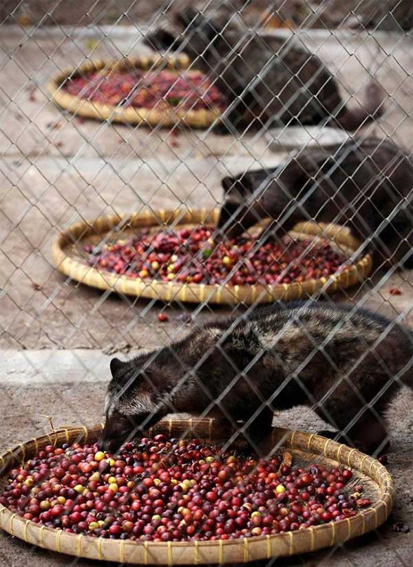 The World S Most Expensive Coffee Kopi Luwak Celebrity